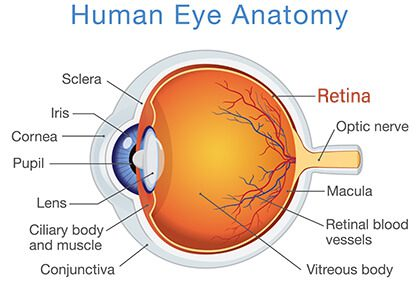 Diagram of the Human Eye with Retina called out